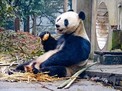 Un panda gigante ospite del campo di volontariato animali in Cina