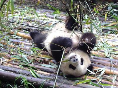 Tutela dei panda e volontariato animali estero