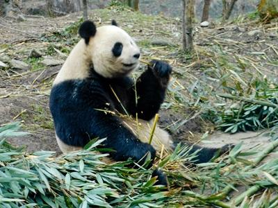 Salvaguardia dei panda in Cina