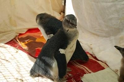 Due pinguini accolti in un centro di recupero degli animali in Sudafrica