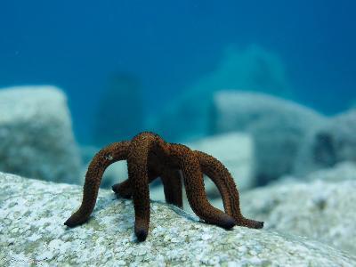 Una stella marina avvistata dai volontari ambientali nell'Arcipelago di Koh Sdach.