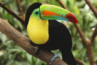 Un tucano arcobaleno fotografato vicino alla città di Heredia in Costa Rica