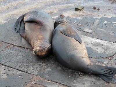Due foche riposano nella sede del progetto di ecovolontariato alle Galapagos