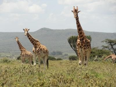 Alcune giraffe attorno alla sede del progetto di tutela ambientale in Kenia