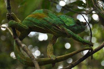 Un camaleonte verde avvistato nella foresta in Madagascar dove si trova il progetto ambientale