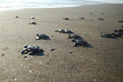 Le tartarughe soccorse dai volontari del progetto di tutela dell'ambiente a Tecoman