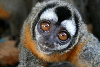 Una scimmia nella Riserva Taricaya, Perù