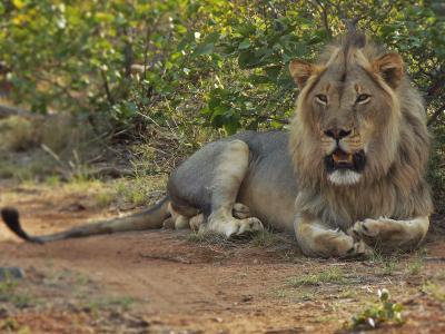un leone della riserva di Wild at Tuli in Botswana