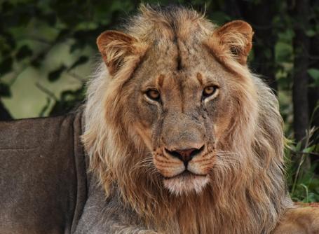 Un leone avvistato dai volontari ambientali nella riserva Wild at Thuli in Botswana