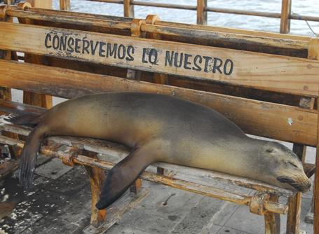 Una foca si riposa su di una panchina nella sede del nostro progetto di tutela ambientale a San Cristobal